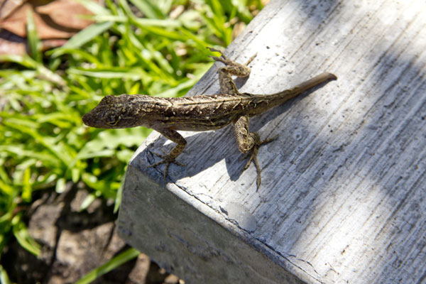 How Do Lizards Regrow Their Tails? Researchers Have Found The Answer