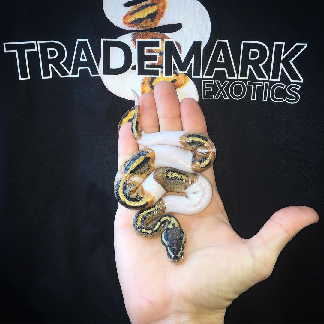 Trademark Exotics and Piebald Ball Pythons