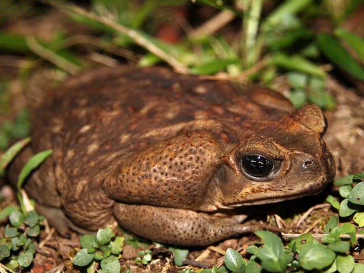 Aussie Authorities Expand Cane Toad Sausage Trials