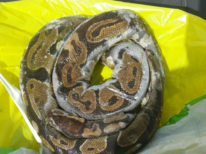 Ball Python Found Dead in English Lake