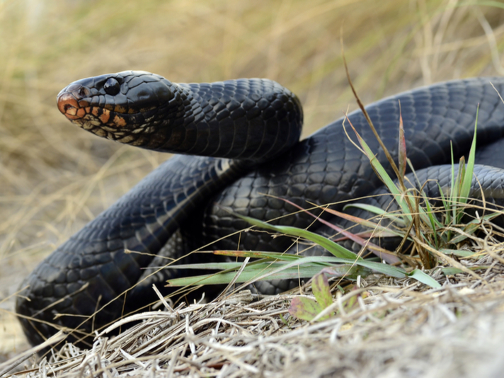 Scientists Release 25 Eastern Indigo Snakes Into Alabama Forest
