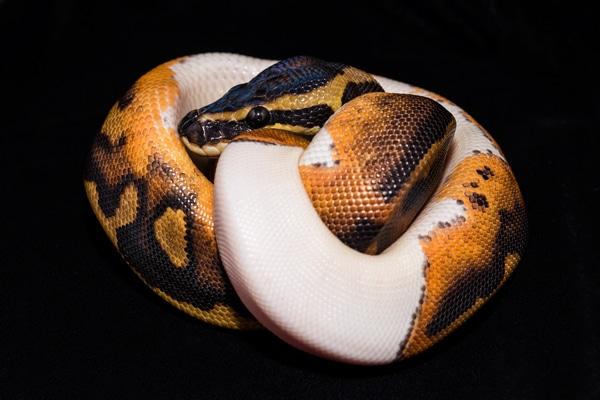 A Crash Course In Ball Python/Reptile Genetics