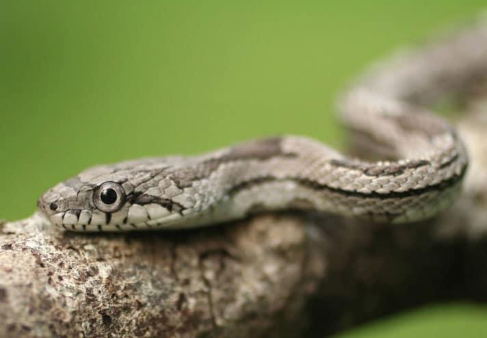 Gray Rat Snake Care Sheet