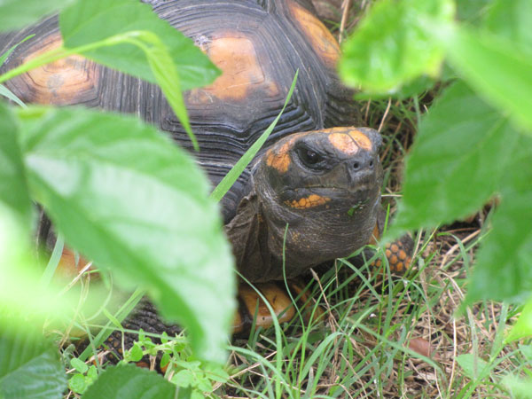 Yellow-Footed Tortoise Care Sheet