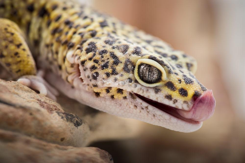 5 Great Pet Lizards