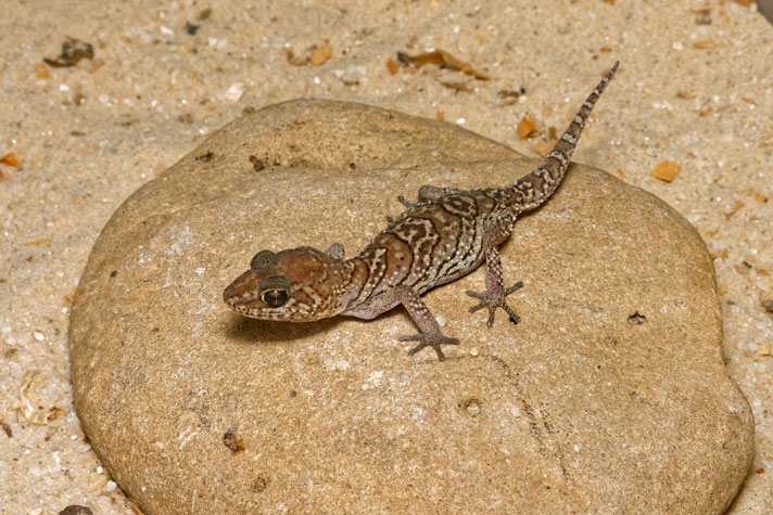 Madagascar Ground Gecko Care Sheet