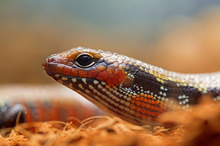 African Fire Skink Care Sheet