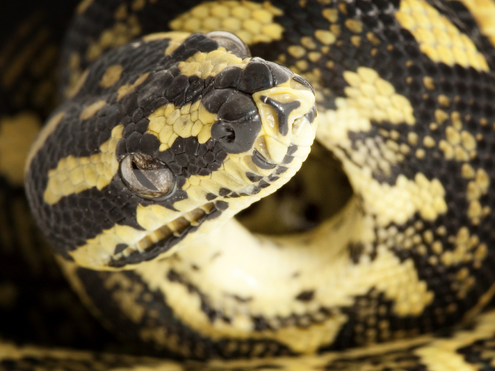 Australian Man Shows Off His Snake on Train and Gets it Confiscated by Police