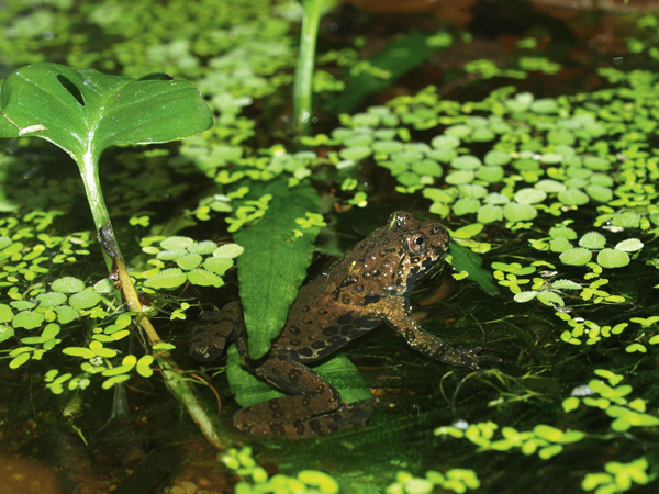 The Fire-Bellied Toad