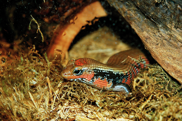 The African Fire Skink