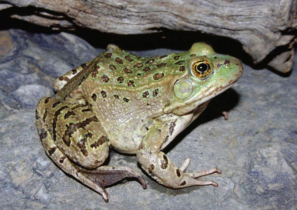 Chiricahua Leopard Frog Habitat Must Be Protected, US Govt. Says