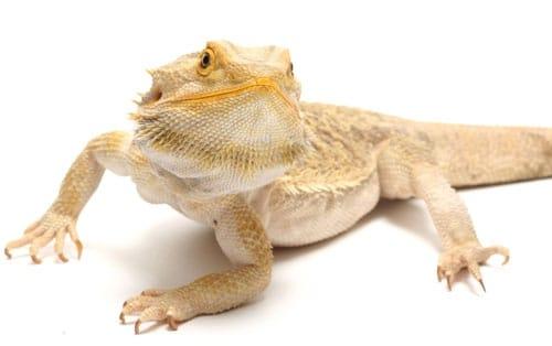 Lizards Sleep Like Humans, Study Says