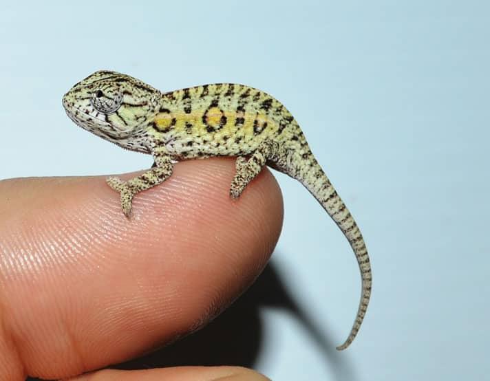 Carpet Chameleon Information And Care