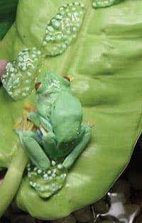 Breeding Red-Eyed Treefrogs