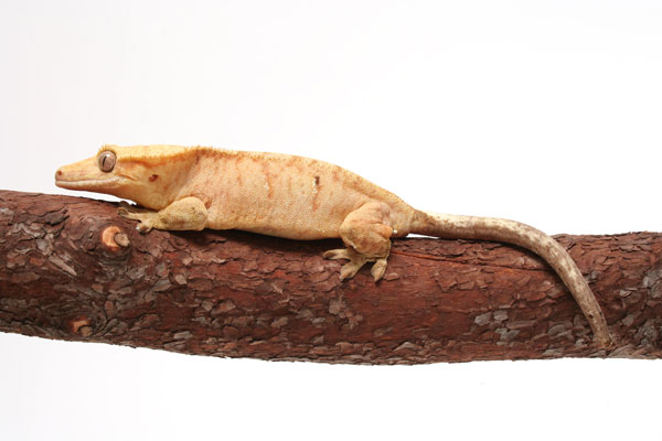 Which Gecko Species Is Right For You?