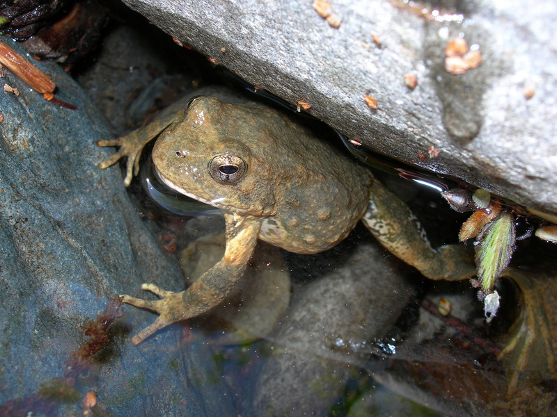 Foothill Yellow-legged Frog Approved For California Endangered Species Act Protections