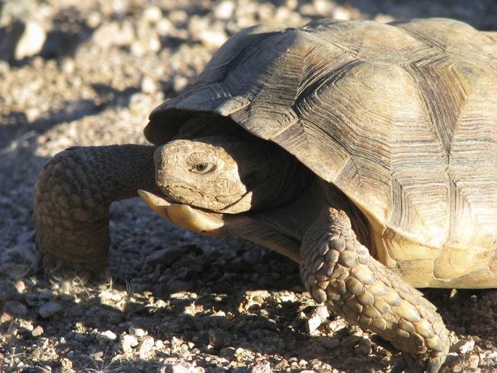 Sonoran Desert Tortoise Feeding And Diet