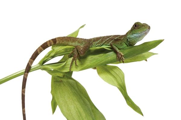 Breeding Green Water Dragons