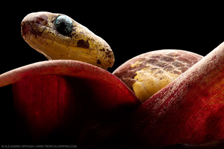 5 New Snail Eating Snake Species Discovered In South America