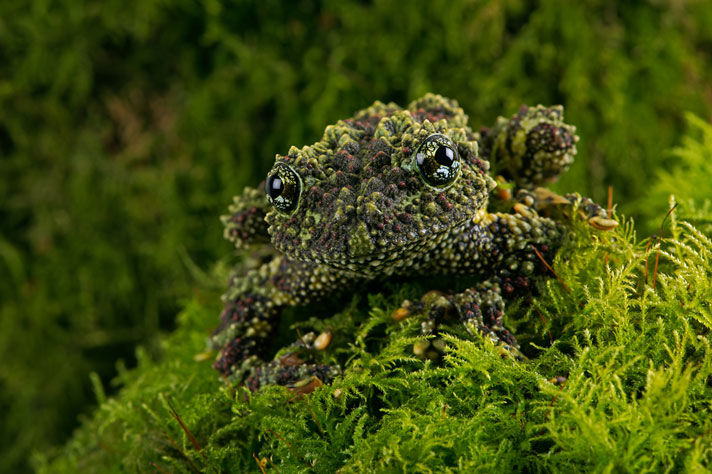 Care and Breeding the Vietnamese Mossy Frog