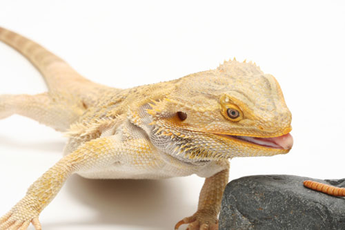 Supplemental Nutrition For Your Reptiles