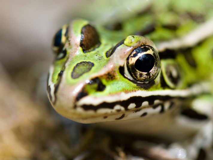 Leopard Frog In Canada Gets Help As Calgary Zoo Starts Breeding Program