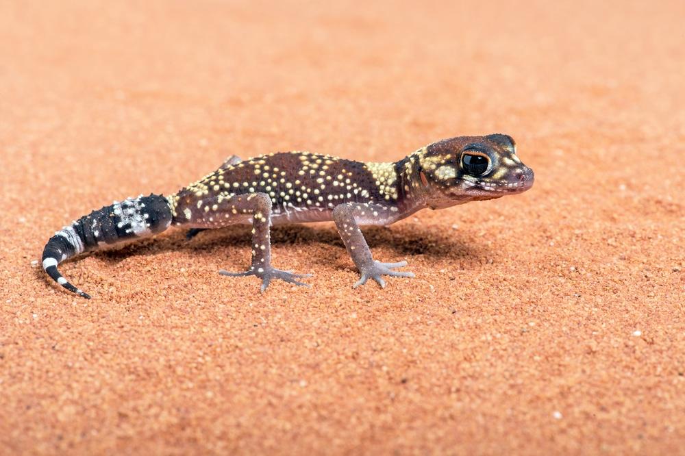 Care Tips For The Australian Barking Gecko