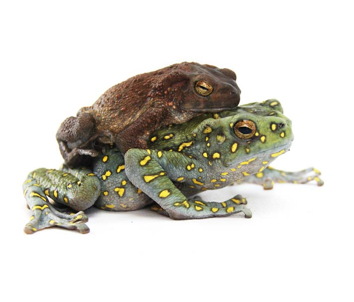 Care and Breeding The Yellow-Spotted Climbing Toad