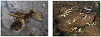 Death Of Frogs From Chytrid Fungus Is The Same In The Wild As In The Lab