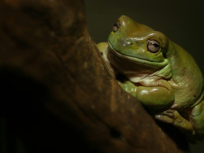 Snake Catcher In Australia Saves Regurgitated Frog