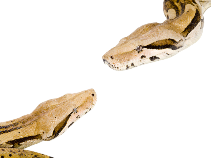 Video: Boa Constrictor Born With Two Heads, Two Hearts