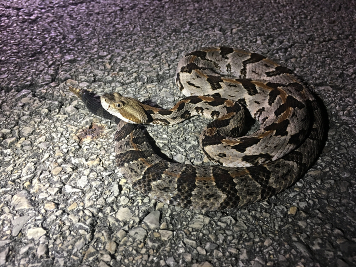 West Virginia Police Stop Traffic To Let Snake Cross Busy Road