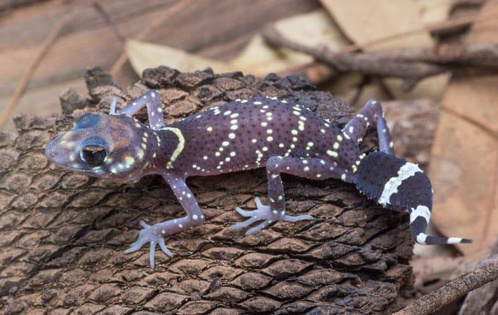 Australian Barking Gecko Care Sheet