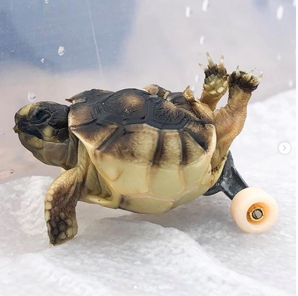 Man Attaches Wheels to Help Tortoise Hatchling With Spinal Deformity Move About