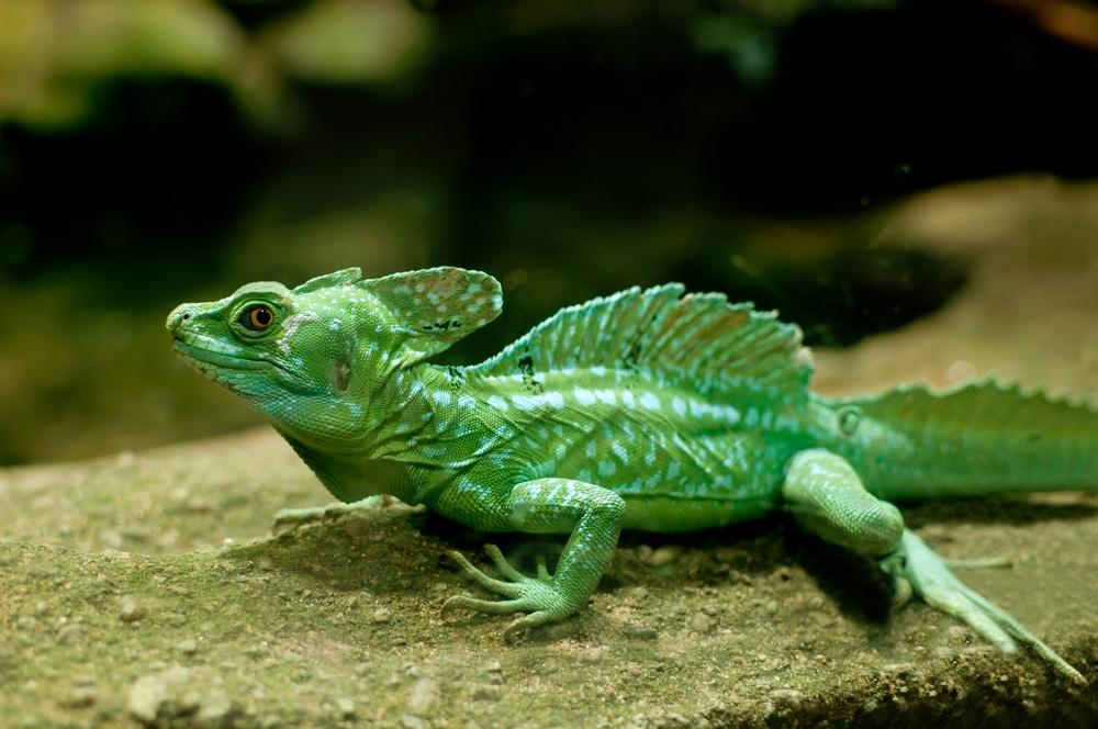 Plumed Basilisk Lizard Care Tips
