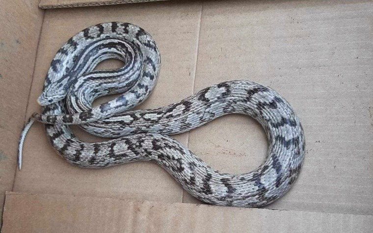 Pet Corn Snake Mistakenly Released In Canada's Pittock Conservation Area