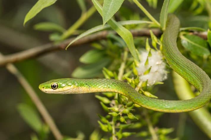 Rough Green Snake Care Sheet