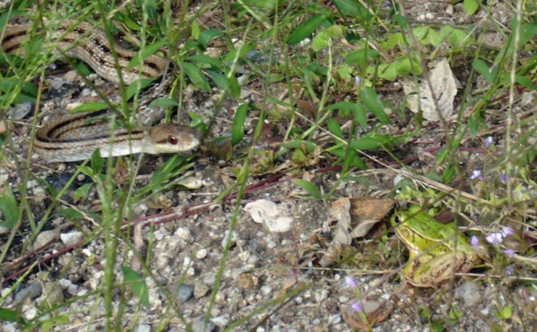 Who Flinches First In Frog And Snake Predator Prey Relationship?