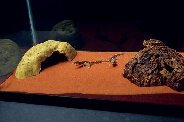Diplodactylus Geckos of Australia