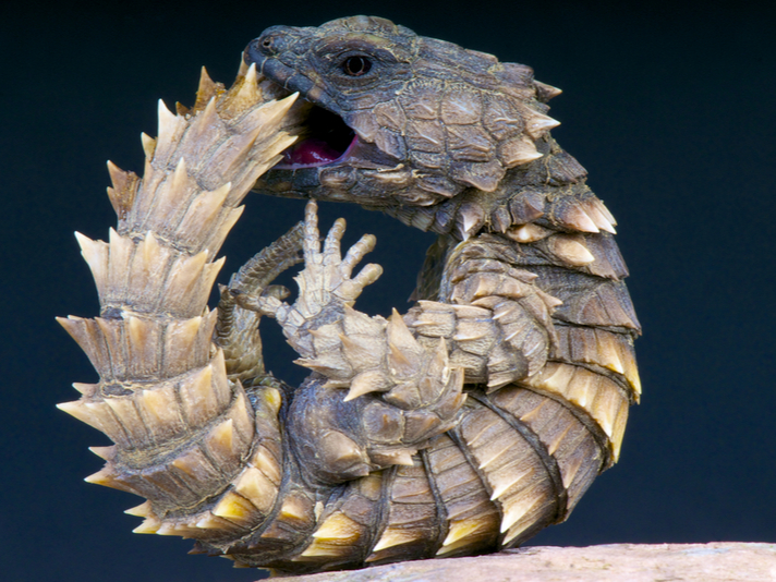 Man Sentenced To 13 Years In Prison For Trafficking 48 Armadillo Girdled Lizards