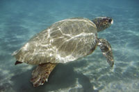 Obama Administration To Be Sued For Lack Of Loggerhead Sea Turtle Habitat Protection Plan