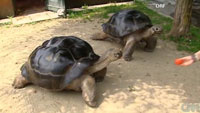 Relationship Between A Pair Of Galapagos Tortoises Ends After 115 Years