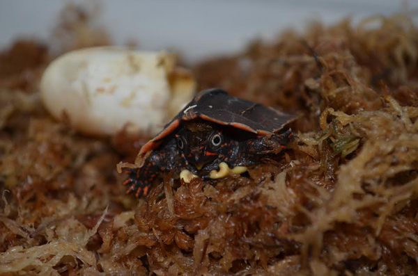 Zoo Knoxville Successfully Hatches a Black-breasted Leaf Turtle