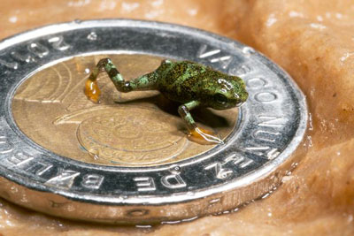 Harlequin Frog Breeding Project Has Some Success In Panama