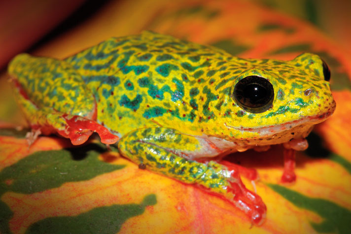 Care And Breeding  Africa's Colorful Reed Frogs