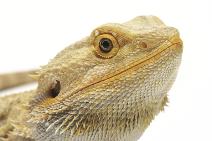 The Best Guide To Bearded Dragon Nutrition