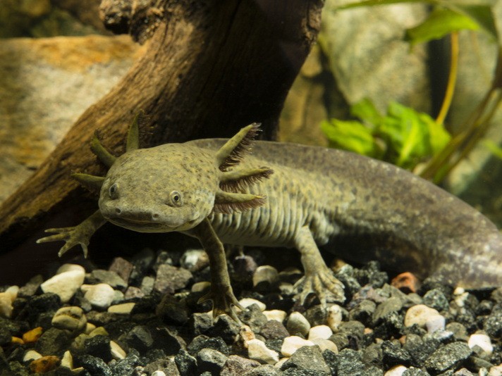 Endangered Mexican Salamander Being Captive Bred By Nuns