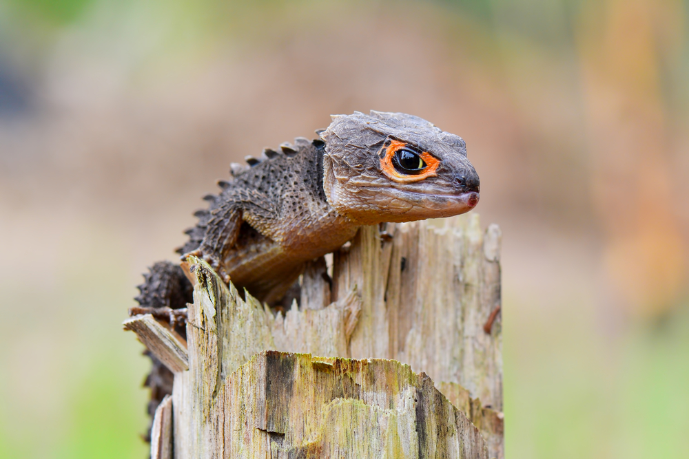 Red-Eyed Crocodile Skink Care And Information