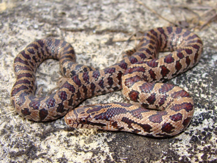 How to Care for Mole and Prairie Kingsnakes