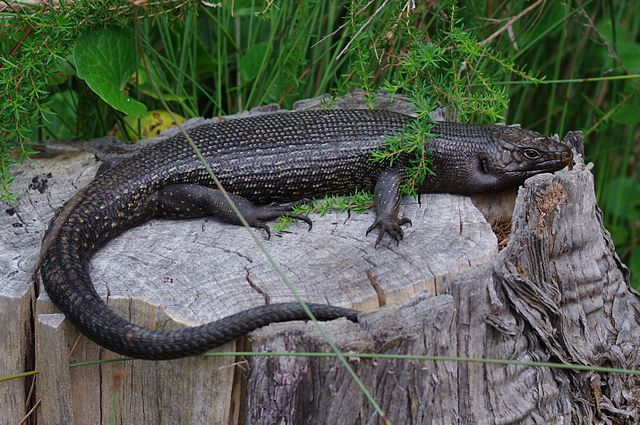 King's Skink Can Re-regenerate More Functional Tail Than Other Lizards